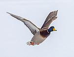 Mallard ducks in winter flying.