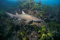 sand tiger (grey nurse) shark, juvenile Carcharias taurus (formerly Odontaspis/ Eugomphodus) NSW, Australia