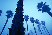 Palm trees in morning fog<br />