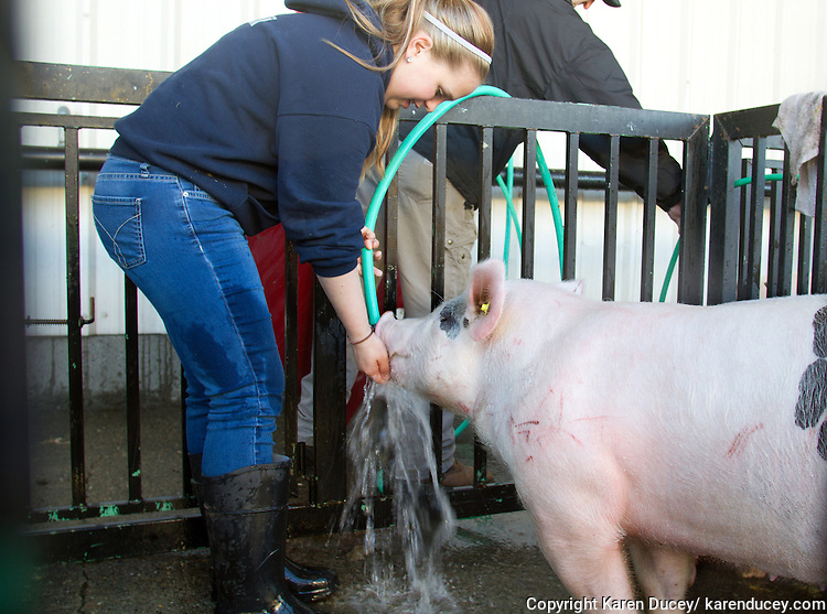 """Natalie Ehli, 16, from Sumner High School gives her pig, Howard, a drink during it's bath prior to the Northwest Junior Livestock Show at the Washington State Spring Fair in Puyallup, Washington on April 17, 2015. Ehli is a FFA student and says """"I like the leadership role. You take care of your pig. I love to be around animals because I want to be a vet someday."""" Howard was born on Oct. 19, 2014 and Ehli got him on December 1st. Ehli's mother, Cassie Ehli, was also in FFA when she was in high school."""