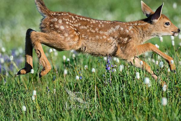 Columbian black-tailed deer (Odocoileus hemionus columbianus) fawn running/jumping through subalpine meadow covered with American Bistort wildflowers.  Pacific Northwest.  Summer.