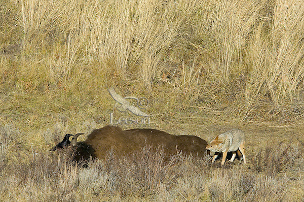 Coyote and common raven feeding on bison carcass.  Yellowstone.  Fall.