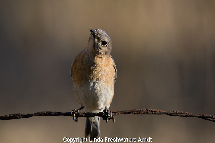 Female eastern bluebird sitting on an old barbed-wire fence