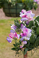 Lathyrus odoratus 'Northern Lights' (Cherub Series) Sweet peas, fragrant annual flowers