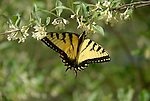 Eastern Tiger Swallowtail butterfly on Autumn Olive bush