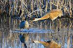 A Canada Goose got a little too close to this sandhill crane. He pecked at the goose several times. At the Lee Metcalf Wildlife Refuge in Montana