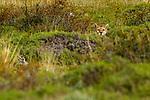 Mountain Lion (Puma concolor) female hiding, Torres del Paine National Park, Patagonia, Chile