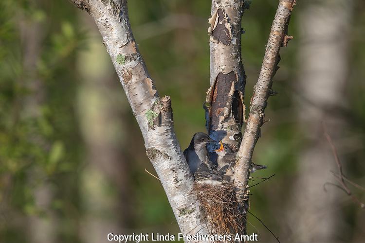 Eastern kingbird - adult and nestlings