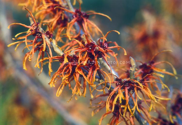 Hamamelis x intermedia Copper Beauty aka Jelena Witch hazel in late winter / early spring bloom