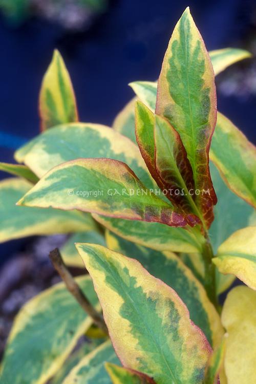 Phlox paniculata 'Becky Towe' variegated foliage leaves
