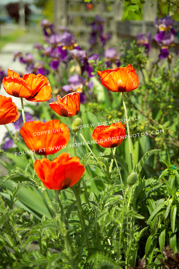 Shallow focus garden vignette of bright orange Oriental Poppies backlit in full sun in a front border in Seattle, backed by royal purple bearded irises and a wooden fence in soft focus behind.