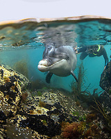 friendly, wild, bottlenose dolphin named Dusty, and swimmer, Tursiops truncatus, West of Ireland, Southern Ireland, British Isles, North Atlantic Ocean, (MR)