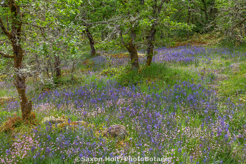 Wildflower meadow in the woods with Oaks, grasses, rocks, ferns and forbs - Camassia Nature Preserve, The Nature Conservancy protected park, Portland Oregon