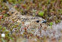 Adult female Willow Ptarmigan incubating its nest. Yukon Delta National Wildlife Refuge, Alaska. June.