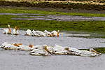 American White Pelican (Pelecanus erythrorhynchos) flock performing coordinated foraging, Elkhorn Slough, Monterey Bay, California