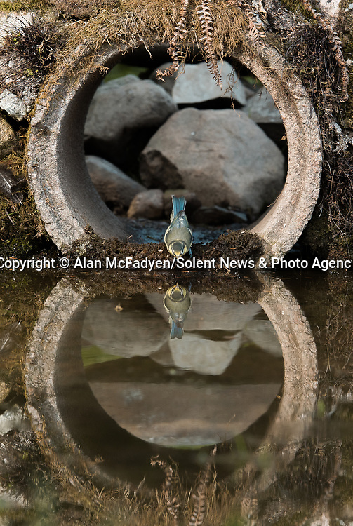 Pictured: A baby blue tit peeks out of the tunnel<br /> <br /> A series of animals are perfectly reflected in a pool of water as they peek their heads out of a tunnel.<br />    The array of wildlife - from a red squirrel to a badger - seek refuge from the hot weather in the drainage pipe.<br />  <br /> Visitors to the 18-inch wide tunnel and the surrounding small pool include a blackbird, a great spotted woodpecker, an otter and a family of blue tits.    Photographer Alan McFadyen pictured the animals near his home in Kirkcudbright, Scotland.   SEE OUR COPY FOR DETAILS<br /> <br /> Please byline: Alan McFadyen/Solent News<br /> <br /> © Alan McFadyen/Solent News & Photo Agency<br /> UK +44 (0) 2380 458800