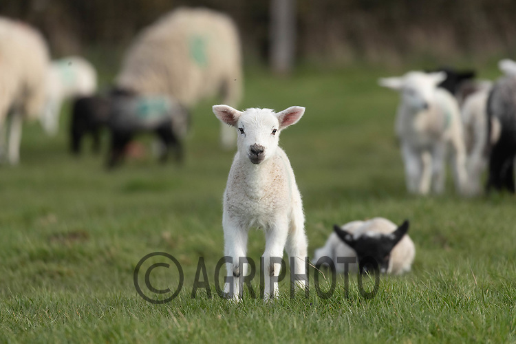 25-3--2021 Spring Lambs<br /> ©Tim Scrivener Photographer 07850 303986<br />      ....Covering Agriculture In The UK....