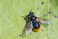 Hundeschnauzenschwebfliege, Hundeschnauzen-Schwebfliege, Hundsnasenschwebfliege, Hundsnasen-Schwebfliege, Blera fallax, Pine Hoverfly