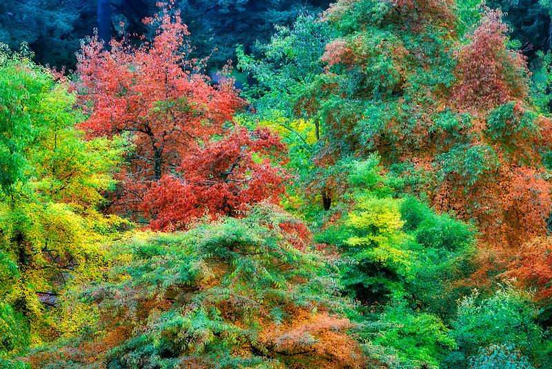 Path in Hoyt Arboritum with fall colored tupolo trees (Nyssa sylvatica). Washington Park. Portland. Oregon