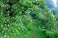France, Indre-et-Loire, Lémeré, jardins et château du Riveau au printemps, tunnel de rosiers 'Sander's White' dans le Jardin des senteurs