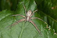 Laufspinne, Flachstrecker, Philodromus spec., (Art aus der aureolus-Gruppe), philodromid crab spider, Laufspinnen, Philodromidae, philodromid crab spiders