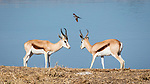 Seconds Out ... Two Young Springbok Prepare For A Friendly Joust, Overseen By A Feathered Friend.