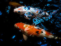 Abstract pattern of Koi or more specifically nishikigoi are ornamental varieties of domesticated common carp. Langkawi Island, Malaysia