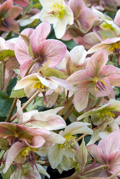 Hellebore Pink Beauty in winter spring bloom