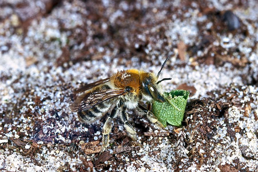 Große Harzbiene, mit Blattstück, Trachusa byssina, Anthidium byssinum