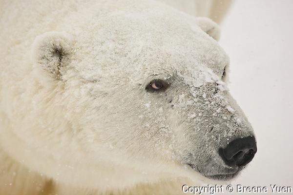 Snow falls on the face of a Polar Bear, Wapusk National Park, Manitoba, Canada, November 2006