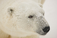 Snow falls on the face of a Polar Bear, Wapusk National Park, Manitoba, Canada, November 2006