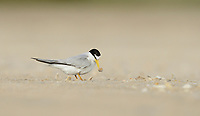 Least Tern (Sterna antillarum), adult building nest with shells, South Padre Island, Texas, USA