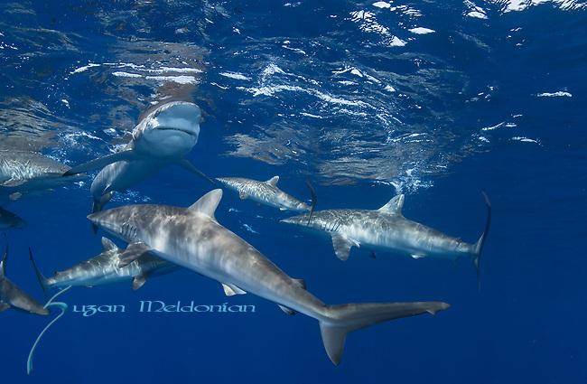 Carcharhinus falciformis, Cuba Underwater, Jardines de la Reina, Protected Marine park underwater, Sharks, Silky sharks at the surface