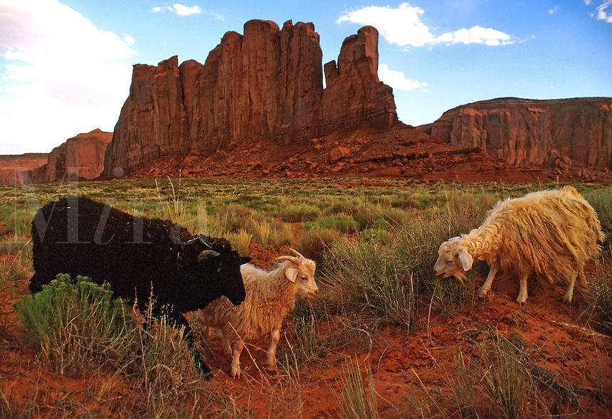 Three angora goats (two white and one black) at Monument Valley with Monument in background. New Mexico.