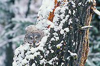 Great gray owl (Strix nebulosa) on nest after late spring snowstorm.