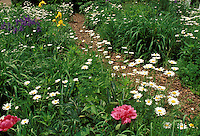 Mulch path through daisies and other June flowers