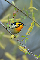 Male Blackburnian warbler (Setophaga fusca) among willow catkins.  Great Lakes Region, May.