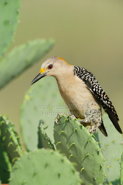 Golden-fronted Woodpecker (Melanerpes aurifrons), female perched on Texas Prickly Pear Cactus (Opuntia engelmanni), Laredo, Webb County, South Texas, USA