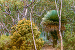 Gums, Tate's grass tree(Xanthorrhoea semiplana sp. tateana), Kangaroo Island, South Australia