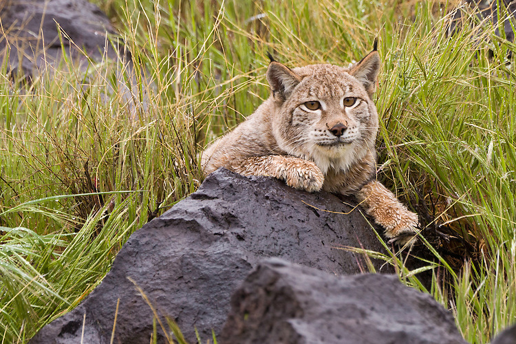 Siberian Lynx leaning on a boulder amongst some wet grass - CA