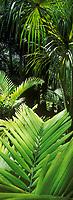 """France/DOM/Martinique/Balata/Les jardins: Palmeraie - Détail """"Palmea Ptychosperma Elegans"""""""