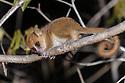 Adult golden-brown mouse lemur (Microcebus ravelobensis) active at night. Ankarafantsika National Park (Ampijoroa), north west Madagascar.