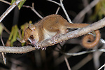 Adult golden-brown mouse lemur (Microcebus ravelobensis) active at night. Ankarafantsika National Park (Ampijoroa), north west Madagascar.