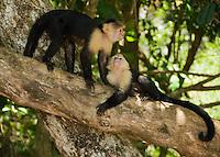 White-faced capuchins, Cebus capucinus. Manuel Antonio National Park, Costa Rica