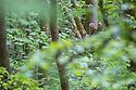 Tawny Owl {Strix aluco} in deciduous woodland canopy. Peak District National Park, Derbyshire, UK. May.