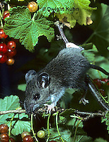 MU50-051z  White-footed Mouse Immature adult eating berries - Peromyscus leucopus