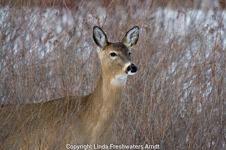 White-tailed deer - doe in winter