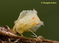 AM07-522z  Ambush Bug hatching from egg, Phymata americana