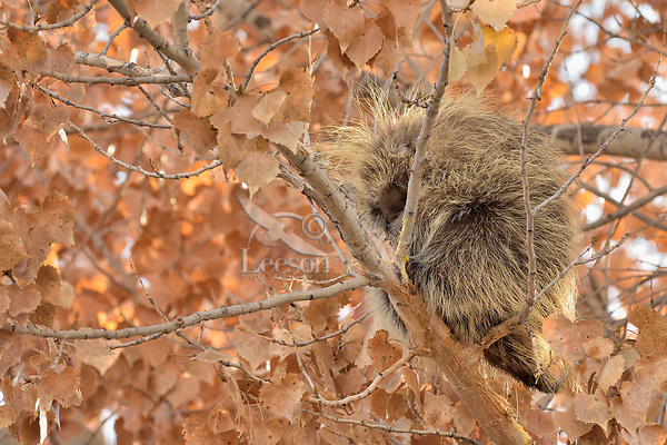 North American porcupine (Erethizon dorsatum)--also known as the Canadian porcupine or common porcupine--sleeping up in cottonwood tree.  Western U.S., late fall.