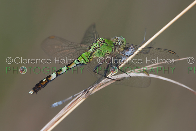 Eastern Pondhawk (Erythemis simplicicollis) Dragonfly - Female eating damselfly prey, Lake Kissimmee State Park, Lake Wales, Polk County, Florida